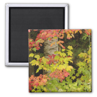 Autumn maple trees and birch tree, White Magnet