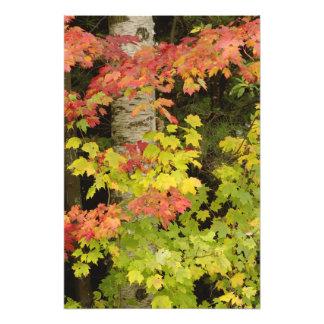 Autumn maple trees and birch tree, White Photo