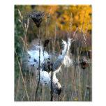 Autumn Milkweed Photo Print