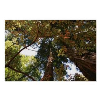 """""""Autumn Perspective"""", Muir Woods Poster"""