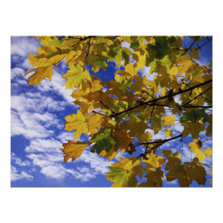 Autumn Sycamores Poster