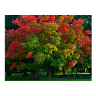 Autumn Tree in Boston Public Garden Postcard