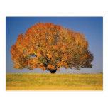 Autumn tree in vast field post cards