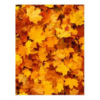 Autumn Yellow Maple Leaves Postcard