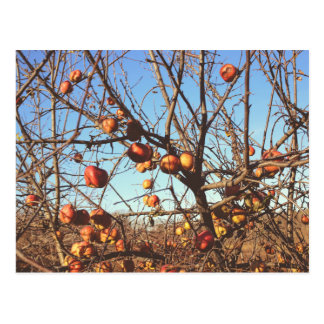 Autumnal Apples Photo Postcard