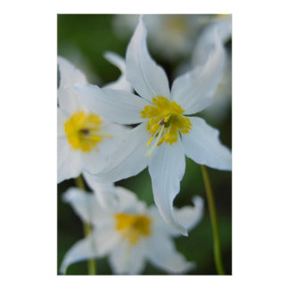 Avalanche Lilies at Paradise Park Poster