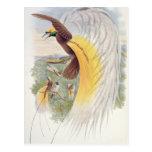 Ave del paraíso, de 'pájaros de New Guinea Tarjetas Postales