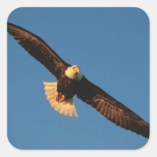 Ave rapaz, Eagle calvo en vuelo, Kachemak Pegatina Cuadrada