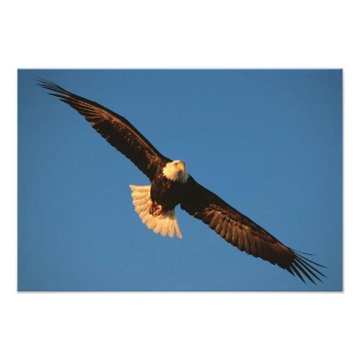 Ave rapaz, Eagle calvo en vuelo, Kachemak Arte Con Fotos