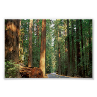 Avenue of The Giants, Humboldt, CA Poster