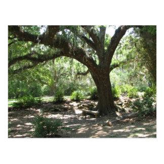 Avery Island moss covered tree Postcard