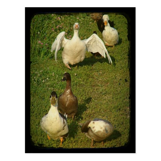 Aves acuáticas maravillosas postal