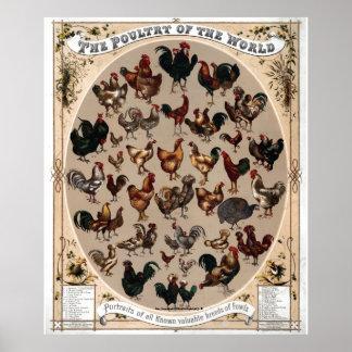 Aves de corral Vintage 1868 del mundo Posters