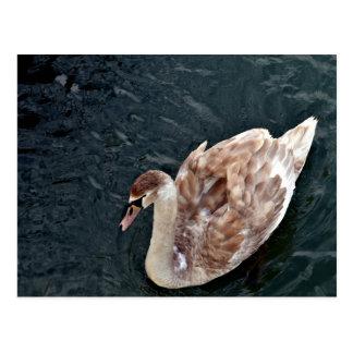 Aves del agua en el agua negra postal