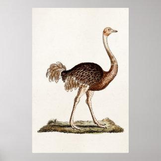 Avestruces retras de los 1700s del ejemplo de la póster
