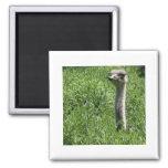 avestruz 1 imanes de nevera