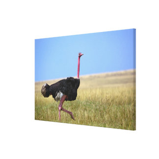 Avestruz masculina en el plumaje de la cría, lona estirada galerías