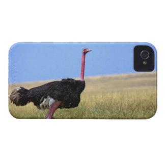 Avestruz masculina en el plumaje de la cría, Strut iPhone 4 Cárcasa