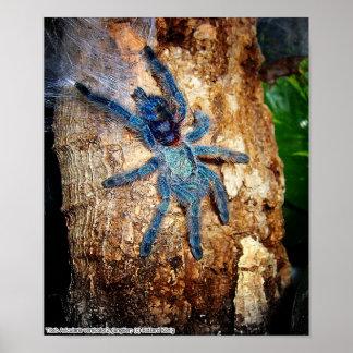 Avicularia versicolor poster