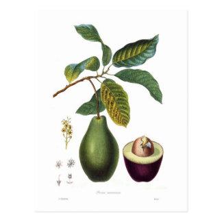 Avocado (Persea americana) Postcard