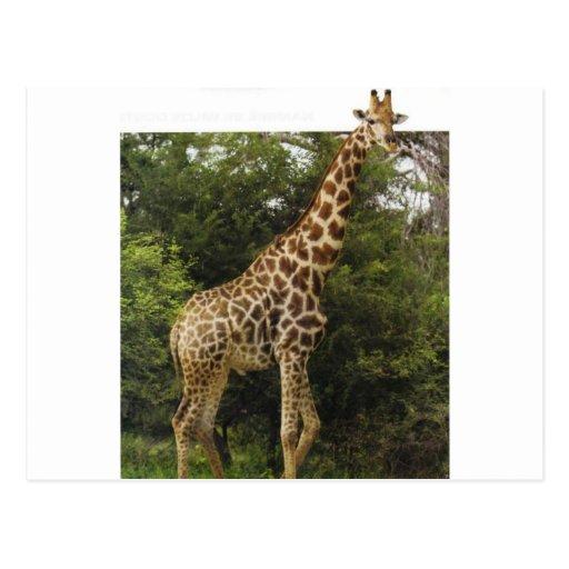 Awesome Giraffe Postcard