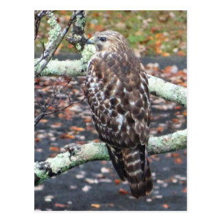 Awesome Hawk and Autumn Leaves Photography Postcard