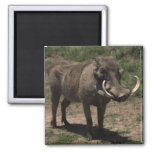 Awesome Warthog 2 Inch Square Magnet
