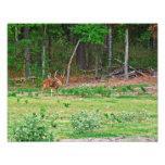Axis Deer Photo