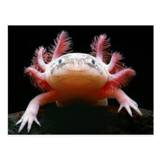 Axolotl Axolotl.png Tarjeta Postal