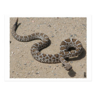AZ Black Rattlesnake (Do not click if squeemish) Post Card