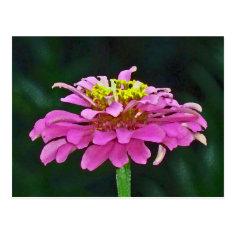 AZ- Purple Zinnia Floral Photography Postcard