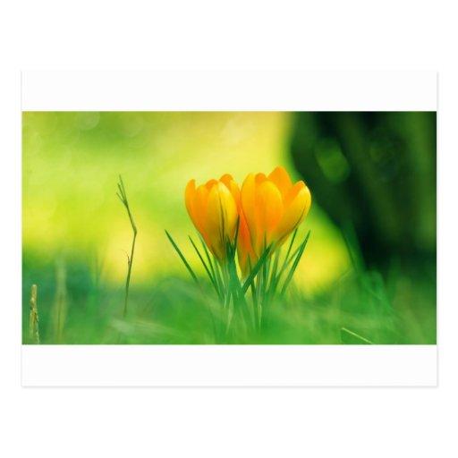 Azafrán de la primavera postales