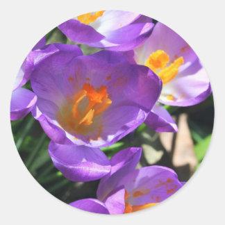 Azafrán flowers.jpg pegatinas redondas