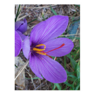 Azafrán púrpura bonita tarjeta postal