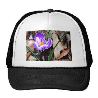 Azafrán púrpura gorra