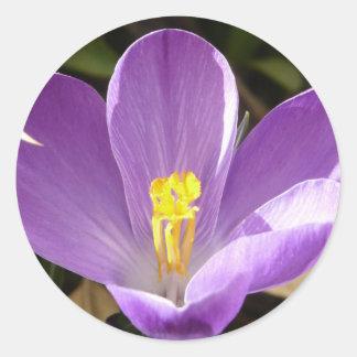 azafrán púrpura pegatinas redondas