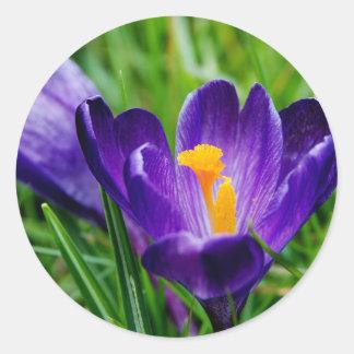 Azafranes de la primavera pegatinas redondas