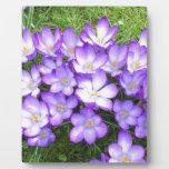 Azafranes violetas en la hierba placa para mostrar