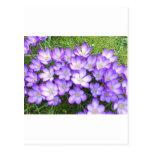 Azafranes violetas en la hierba postal