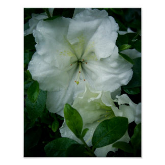 Azalea blanca poster