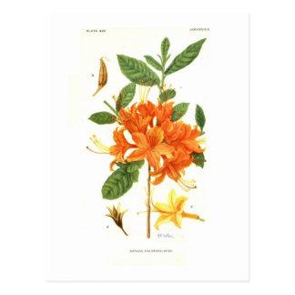 Azalea calendulacea postcard