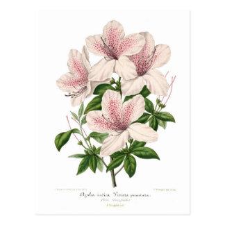 Azalea indica - vittata punctata post cards
