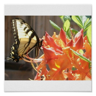 Azalea nativa de la llama de la mariposa de Swallo Poster