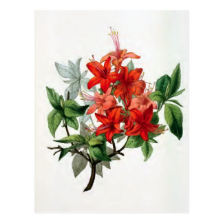 """""""Azalea Nudiflora"""" Vintage Flower Illustration Postcard"""