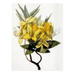 """""""Azalea Pontica"""" Vintage Flower Illustration Postcards"""