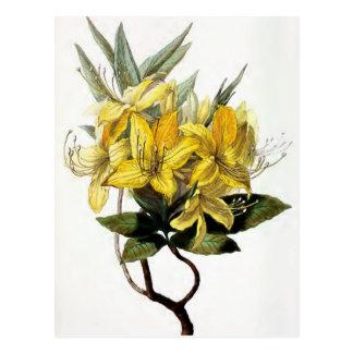 """""""Azalea Pontica"""" Vintage Flower Illustration Postcard"""