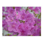 Azalea rosada en la floración tarjeta postal