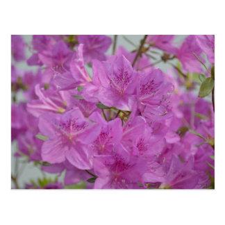 Azalea rosada en la floración tarjetas postales