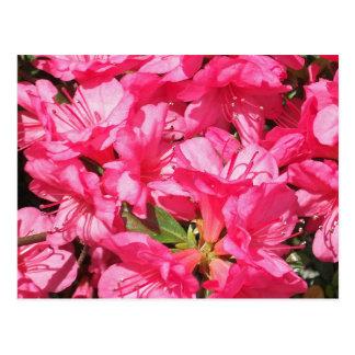 Azalea rosada tarjetas postales