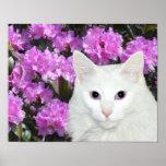 Azaleas blancas del gato poster